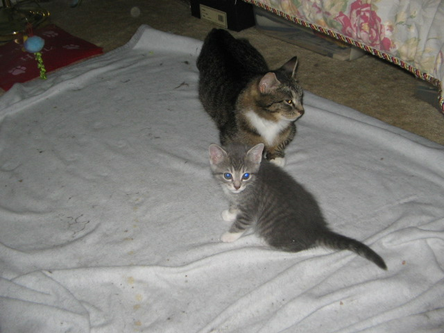 Lily at 10 weeks old. Her mother Carrie before she showed serious signs of FeLV+ symptoms.